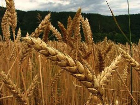 Germen de trigo para adelgazar