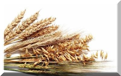 Salvado de trigo para Adelgazar