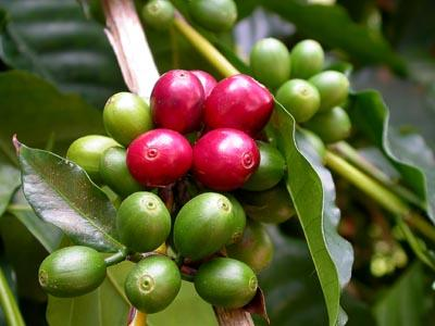 cafe verde Cafe verde para Adelgazar