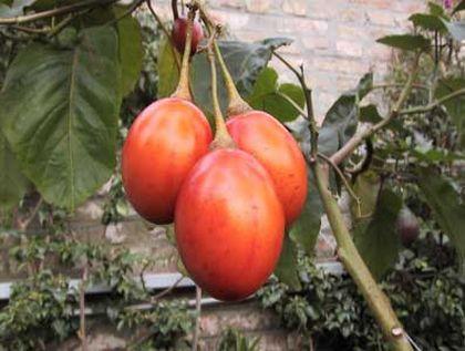 tomatedearbol Dieta de Tomate de Árbol y Rábano